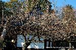 観梅 黒谷の紅梅 : 志うん石の納まる堂にかかる白梅