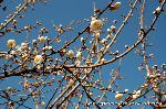 観梅 黒谷の紅梅 : 志うん石(紫雲石)のお堂にかかる白梅
