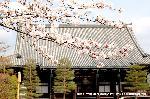 桜見 花見 観桜 嵯峨野散策 : 国宝釈迦如来象が安置されている