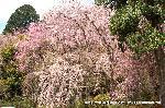 桜見 花見 観桜 嵯峨野散策 : ここは駐車場である