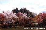 桜見 花見 観桜 嵯峨野散策 世界遺産