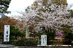 桜見 花見 観桜 嵯峨野散策 : 恒例の華道祭に花見