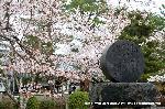 桜見 花見 観桜 嵯峨野散策 華道祭