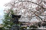 桜見 花見 観桜 嵯峨野散策 : いけはな嵯峨御流の本拠地