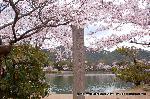 桜見 花見 観桜 嵯峨野散策 石碑