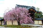 桜見 花見 観桜 嵯峨野散策 : 紅枝垂桜に勅使門