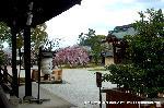 桜見 花見 観桜 嵯峨野散策 : 紫宸殿前より勅使門を仰ぐ