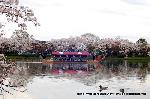 桜見 花見 観桜 嵯峨野散策 : 鴨に龍頭船が浮かぶ