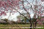 桜見 花見 観桜 嵯峨野散策 : 名古曾滝址より大沢池