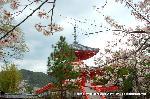 桜見 花見 観桜 嵯峨野散策 : 桜に多宝塔