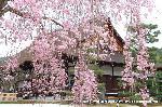 桜見 花見 観桜 嵯峨野散策 : 紅枝垂桜ごしの宸殿