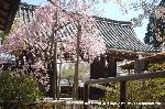 桜見 花見 観桜 嵯峨野散策 : 総門内の紅枝垂桜