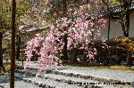 桜見 花見 観桜 嵯峨野散策