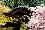 桜見 花見 観桜 嵯峨野散策 : 唐門に紅枝垂桜