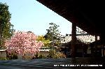 桜見 花見 観桜 嵯峨野散策 : 本堂の縁より