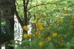 松尾祭 山吹まつり : 山吹まつりの行われている最中に松尾祭は始まる。