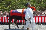 葵祭 : 控えの牛