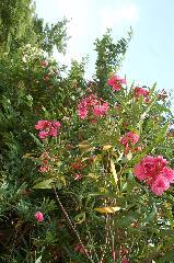 花暦 きょうちくとう : 梅雨から残暑までどこにでも咲いている