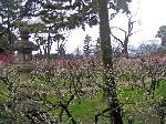 続 花と言えば梅 北野梅苑