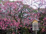 街角の梅見 西陣の梅