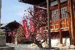 梅見 梅 花見 : 大毘沙門の安置された本堂と南妙法蓮華経の石碑の間に咲く紅梅。