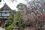 梅見 梅 花見 : 慈眼寺 出水通の東にある曹洞宗慈眼寺では、松と枝垂桜の大木に圧倒されたが、小さくみえた三本の梅も、貼られていた立春大吉のお札ほどに存在感があった。