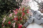 梅見 梅 花見 : 枝垂れ梅と山茶花の競演 七本松通に戻り北上すると、東角に地福寺の枝垂れ紅梅の枝が塀外に伸び、愛くるしい花の桃色が瓦の色で引き立っている。角より西を覗くと、その枝垂れ紅梅が山茶花の真紅の花を抱擁しているところが見られる。