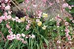 梅見 梅 花見 : 枝垂れ梅 紅梅と水仙の乱舞