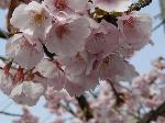 神社詣で : 河津桜