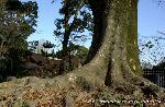文化遺産 お土居 : 御土居に育つ樹齢400年のケヤキ