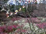 文化遺産 お土居 梅花祭