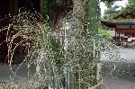 夏越祓 茅の輪くぐり : 竹笹の回りの持ち帰り用茅(ちがや)