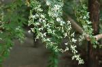 花暦 萩 お彼岸 秋分の日  : 白い萩