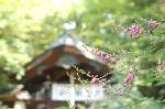 花暦 萩 お彼岸 秋分の日  : 境内は手入れの行き届いた萩の株で溢れている