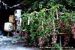 花暦 萩 お彼岸 秋分の日  : 本殿前の見事な萩