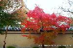 紅葉 秋の特別公開 紅葉狩 : 塀の中が方丈と庭