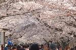 花見 桜 : 桜を見るか、人の頭を見るか、それが問題である。