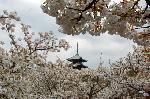 花見 桜 御室桜 : 御室桜に五重塔