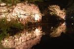 花見 桜 紅しだれコンサート : 平安神宮の東西の神苑の紅枝垂れのライトアップは対照的です。 こちらは東神苑のライトアップのごく一部です。このように続く桜の回廊を散策できる。