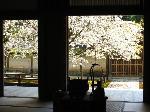 花見 桜 : 勅旨門内に咲く「御車返しの桜」を方丈に座して見る。この桜は一重と八重の花が同じ枝に一緒に咲いている珍しいものだ。