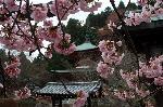 花見 桜 : 虚空蔵さんの本堂前の早咲き桜は多宝塔に向かい、嵐山の法輪寺桜の開花を呼び掛けているようである。