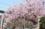 花見 桜 : 樹齢350年を超える黒田百年桜は京都でみる最後の桜となる。山国のトンネルを抜けると、鮮やかなピンクが・・・更に印象に残る。