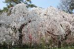 花見 桜 : 糸桜満開