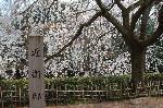 花見 桜 : 近衛邸址の池は糸桜の枝垂れを呼び寄せているようである。