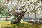 花見 桜 : 「御車返しの桜」の老木と株分け成長した子供の「御車返しの桜」の花。
