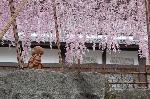 花見 桜 : 羅漢さんが御幸桜の枝垂れで日よけ傘をきているように見えます。