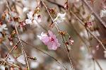 花見 桜 : 御幸桜の枝垂れの枝では花びらが微妙にいろを変化させている。