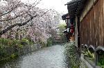 花見 桜 : 料理旅館「白梅」さんから巽橋の方を眺めると・・・正に祗園風情である。
