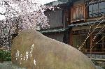 花見 桜  : 吉井勇歌碑