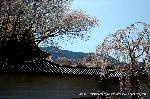 花見 : 右端/クローン桜「太閤千代しだれ」